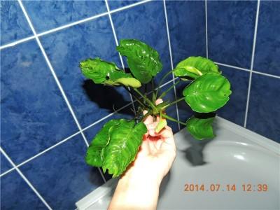 Аквариумные растения - опознание растений. - 9c6386b7cf43.jpg