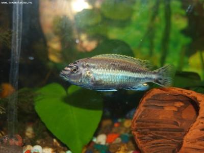 Помогите опознать рыбку опознание рыб  - P7160388.JPG