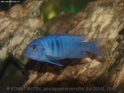 Помогите опознать рыбку опознание рыб  - P7160399.JPG