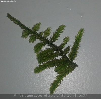 Аквариумные растения - опознание растений. - 222.jpg