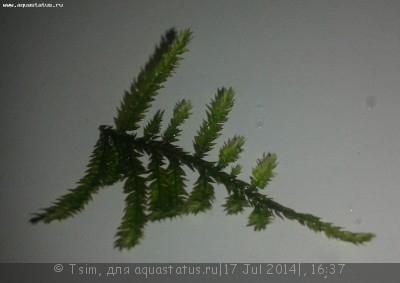 Аквариумные растения - опознание растений. - 333.jpg