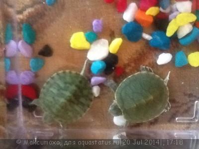 Красноухие черепахи или нет? - image.jpg