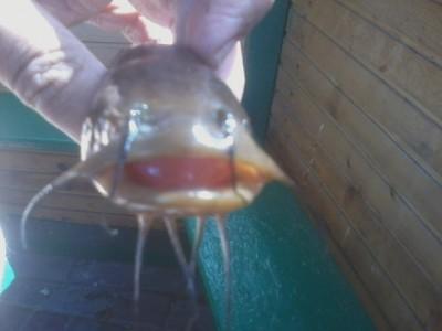 Помогите опознать рыбку опознание рыб  - Фото-0021.jpg