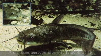 Помогите опознать рыбку опознание рыб  - ameiurus_nebulosus.jpg