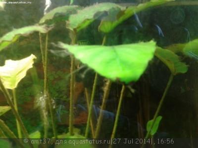 Чёрная борода в аквариуме - 20140727_162350.jpg