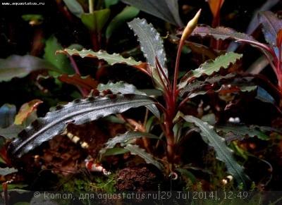 Буцефаландра Bucephalandra sp. Velvet Leaf 1  - Bucephalandra sp. Velvet Leaf 1.JPG