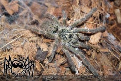 Птицеед птеринохилюс муринус серый Pterinochilus cf. murinus  - Pterinochilus cf. murinus.jpg