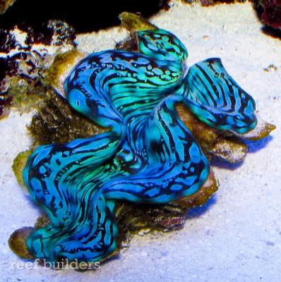 Тридакна чешуйчатая Tridacna squamosa  - blue-squamosa-tridacna-clam-1.jpg