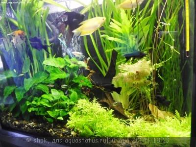 Мой ленивый аквариум 170 литров shok  - SAM_0648.JPG
