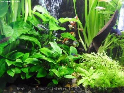 Мой ленивый аквариум 170 литров shok  - SAM_0650.JPG