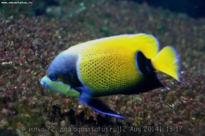 Ангел Наварры неоновый Pomacanthus Euxiphipops navarchus  - Pomacanthus (Euxiphipops) navarchus.jpg