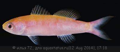 Антиас стройный Витлея Luzonichthys whitleyi  - Luzonichthys whitleyi.jpg