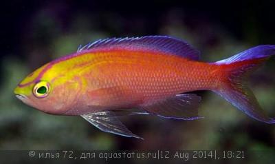 Псевдоантиас солнечный Pseudanthias parvirostris  - Pseudanthias parvirostris.jpg