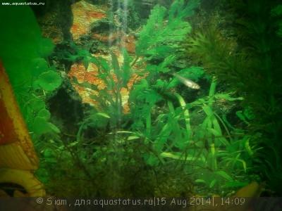 Помогите опознать рыбку опознание рыб  - vh4nM_v3XUA.jpg