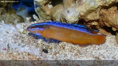 Псевдохромис желтый синеполосый арабский Pseudochromis aldabraensis  - Pseudochromis aldabraensis.JPG
