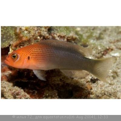 Псевдохромис дилектус Pseudochromis dilectus  - Pseudochromis dilectus.jpg