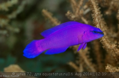 Псевдохромис Фридмана Pseudochromis fridmani  - Pseudochromis fridmani.jpg