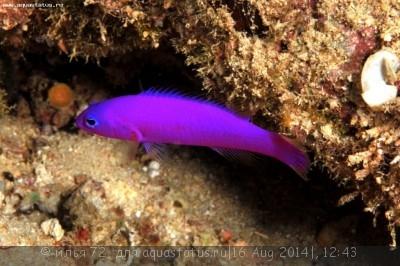 Псевдохромис фиолетовый Pseudochromis porphyreus  - Pseudochromis porphyreus.jpg