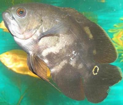 Помогите опознать рыбку опознание рыб  - P1100029.JPG