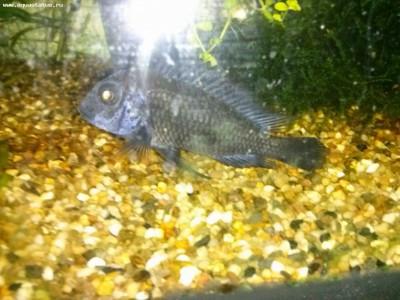 Помогите опознать рыбку опознание рыб  - CAM00181.jpg