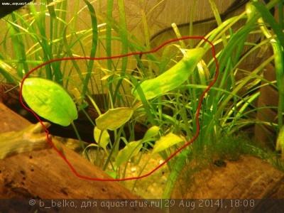 Аквариумные растения - опознание растений. - 2014-08-2811 14.57.43.jpg