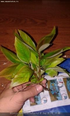 Аквариумные растения - опознание растений. - 20140919_192539.jpg