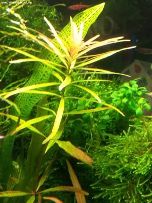 Аквариумные растения - опознание растений. - BawXl9.jpg