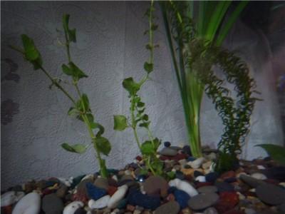 Опознание аквариумных растений - a669322dcce8.jpg
