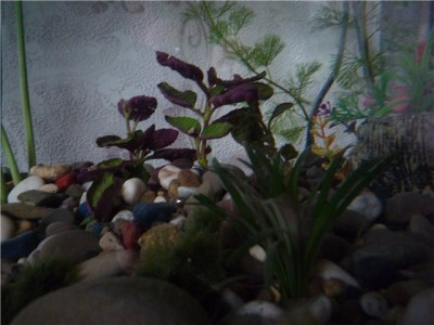 Опознание аквариумных растений - 100cbb229712.jpg