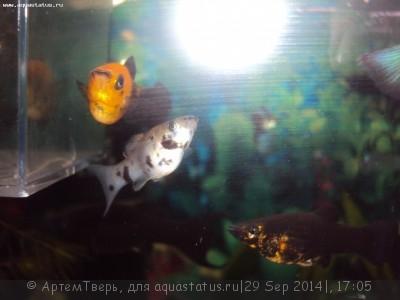 Помогите опознать рыбку опознание рыб  - DSC05885.JPG