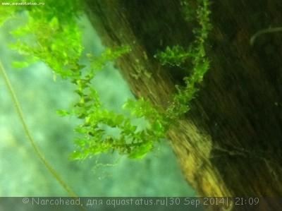 Аквариумные растения - опознание растений. - IMG_0521.JPG