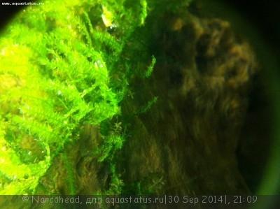 Аквариумные растения - опознание растений. - IMG_0523.JPG