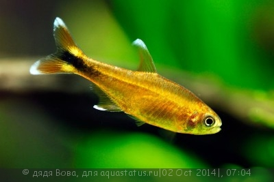 Помогите опознать рыбку опознание рыб  - hasemanija-nana---hasemania-nana_3.jpg