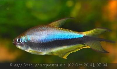 Помогите опознать рыбку опознание рыб  - 152077228.jpg