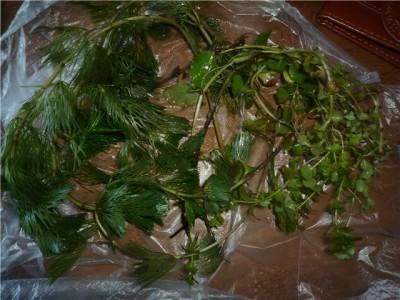 Опознание аквариумных растений - 6e38bce308b9.jpg