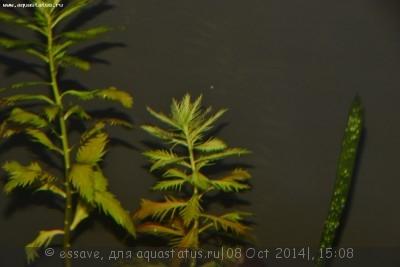 Опознание аквариумных растений - DSC_3284.JPG