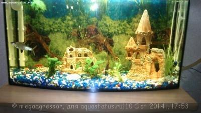 Чёрная борода в аквариуме - DSC_0183.jpg