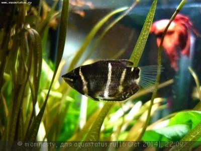 Мой аквариум 20 литров momnasty  - P1000990.JPG