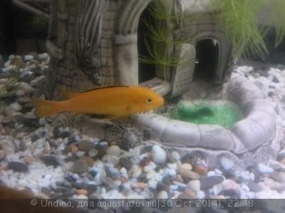 Помогите опознать рыбку опознание рыб  - цихл...jpg