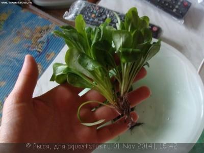 Опознание аквариумных растений - DSC04312.JPG