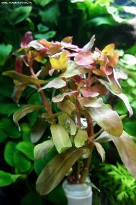 Аквариумные растения - опознание растений. - DSC04737.JPG
