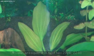 Аквариумные растения - опознание растений. - 20141111_215043.jpg