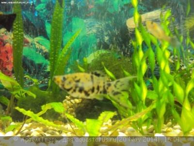 Помогите опознать рыбку опознание рыб  - DSC05930.JPG