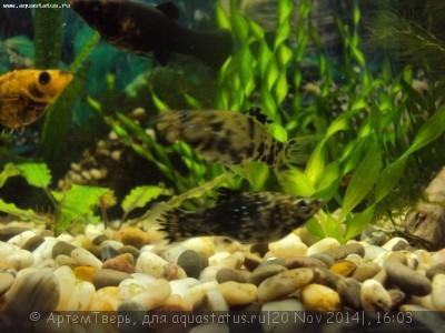 Помогите опознать рыбку опознание рыб  - DSC05927.JPG
