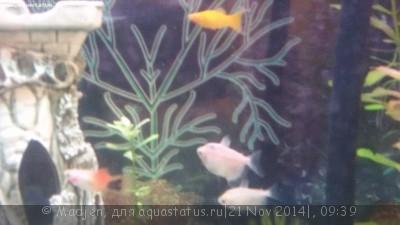 Помогите опознать рыбку опознание рыб  - 20141120_214950.jpg