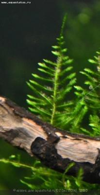 Аквариумные растения - опознание растений. - DSC_4444в.jpg