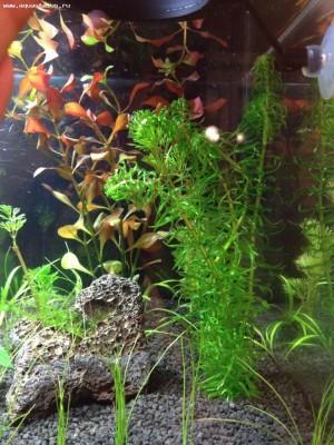 Аквариумные растения - опознание растений. - фото 1.JPG