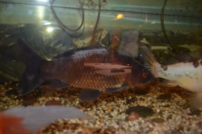На золотой рыбке белое пятно - goldfish01.jpg