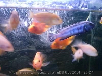 Помогите опознать рыбку опознание рыб  - CAM00530.jpg