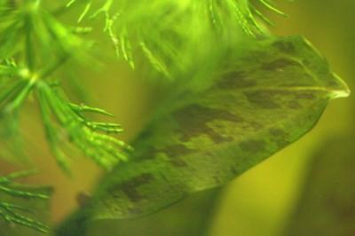 Аквариумные растения - опознание растений. - 0sW4x3LKcRo.jpg